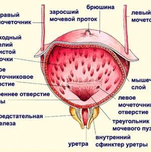Особливості будови сечового міхура