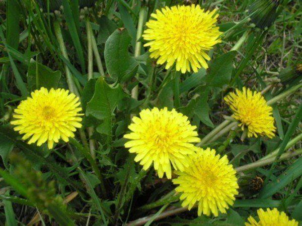 квітка кульбаби
