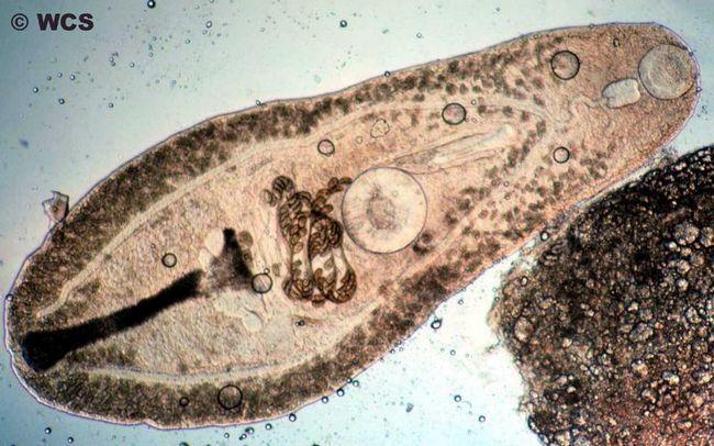 Скільки живуть глисти поза організмом?